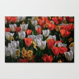 Colorful White and Orange Tulip Carpet Canvas Print