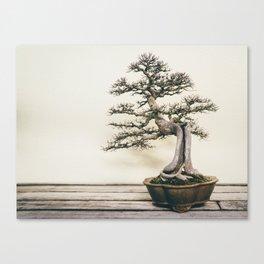 Chinese Elm Bonsai in Winter Canvas Print