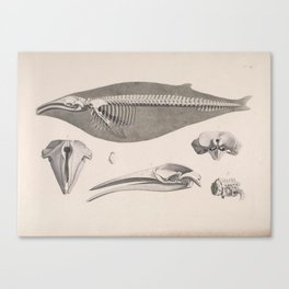 Natural History Whale Skeleton Canvas Print