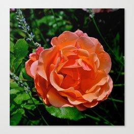 Tuscan Rose Canvas Print