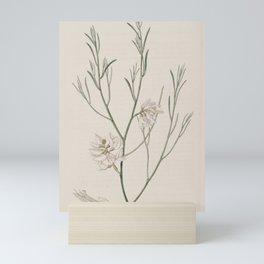 Flower 1918 genista monosperma Single seeded Genista19 Mini Art Print