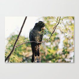 Red-Tailed Black Cockatoo in the Swan Valley Canvas Print