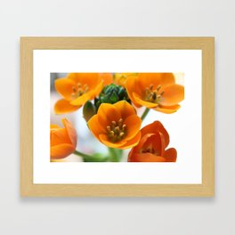 Ornithogalum, the flower of hope Framed Art Print