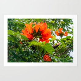 Stunning  flowers of African Tulip Tree at a beach in New Caledonia Art Print