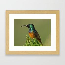 Orange Breasted Honey Bird Framed Art Print