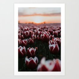 Dutch Tulip field at sunset | Colourful Travel Photography | Amsterdam, Holland (The Netherlands) Art Print