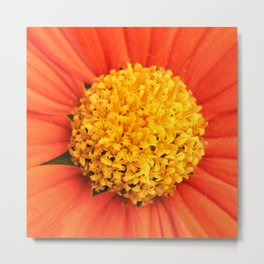 Mexican Sunflower Close Perspective Metal Print