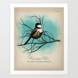 Black-capped Widow Art Print