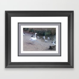 Swan with cheeky gulls and more respectful coots Framed Art Print