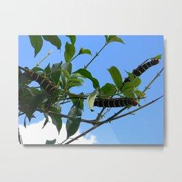 Caribbean Caterpillars Metal Print