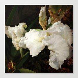 White iris blooms in spring Canvas Print