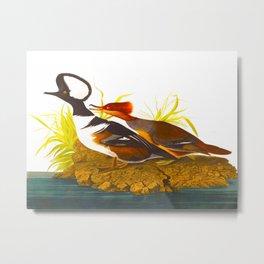 Hooded Merganser John James Audubon Scientific Illustration Birds Of America Drawings Metal Print
