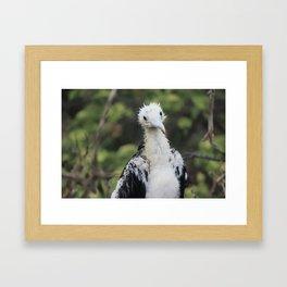 Baby Frigate Bird Framed Art Print