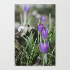 Spring Crocus flowers growing among Snowdrops. Norfolk, UK. Canvas Print
