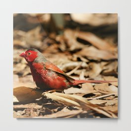 Crimson Finch Metal Print