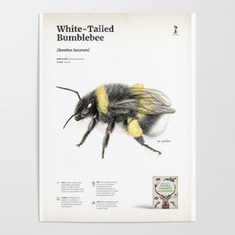 White-tailed bumblebee, poster #1 Poster