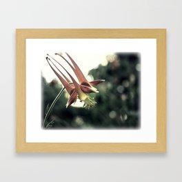 Western Columbine (Aquilegia Formosa) Framed Art Print