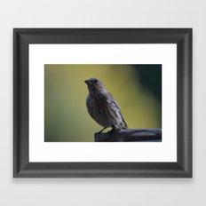 An Immature House Finch Framed Art Print