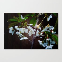The beauty of Cherry flowers Canvas Print