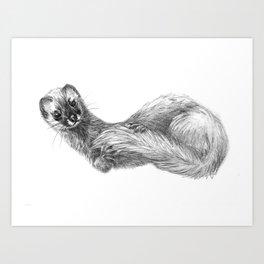 Siberian Weasel Kolinsky Art Print