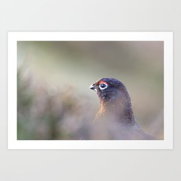 red grouse (Lagopus lagopus scotica) Art Print
