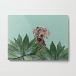 Grey Weimaraner Dog between Agave Leaves Metal Print