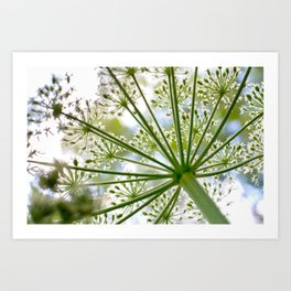 Delicate cow parsley Art Print