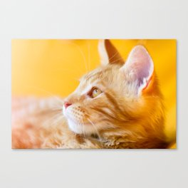 Red-white tabby Maine Coon cat Canvas Print
