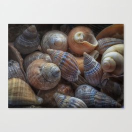 Netted dog whelks Canvas Print