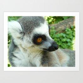 Ringtailed Lemur (Lemur catta) Art Print