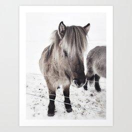 snowy Icelandic horse bw Art Print