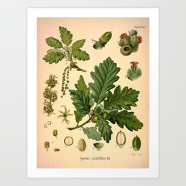 Botanical Print: Oak Tree / Acorn Art Print