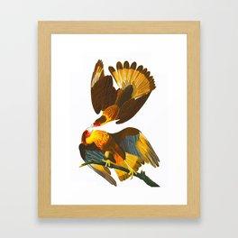 Caracara Eagle Illustration Framed Art Print