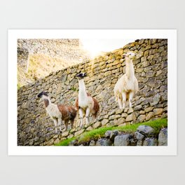 Llamas at Machu Picchu Art Print