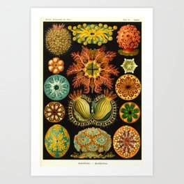 Vintage Ascidiae Print by Ernst Haeckel, 1904 Educational Chart Art Print