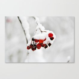 Bunch of red berries in winter Canvas Print