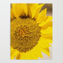 Sunflower (Helianthus Anuus) in the morning sun is a sign of the bright colors of Summer. Poster