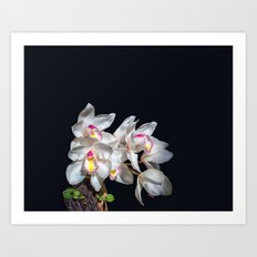 Spray of White Ordchids Art Print
