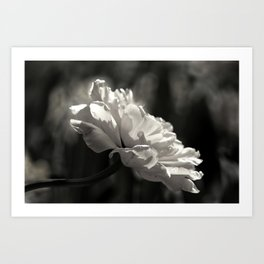 peony flower in black and white with a hint of pink Art Print