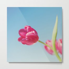 . Sun Kissed Tulip .  Metal Print
