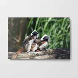 Cotton-top Tamarin Metal Print
