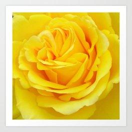 Beautiful Yellow Rose Closeup Art Print