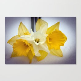 Daffodils resting in the snow after a late London snowstorm in March Canvas Print