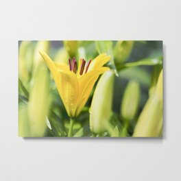 Asiatic Lily 16 Metal Print