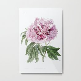 Double red curled tree peony from Edwards's Botanical Register (1829—1847) by Sydenham Edwards, John Metal Print