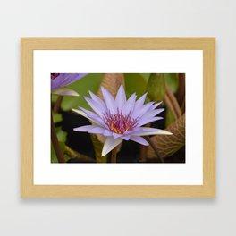 Purple Water Lily Framed Art Print