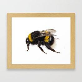 Bumblebee species Bombus terrestris Framed Art Print