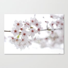 Cherry Blossoms #01 Canvas Print