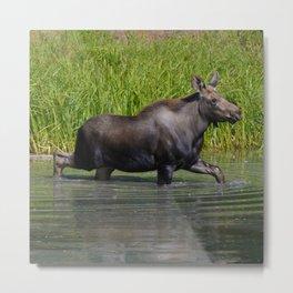 Moose calf in moose lake in Jasper National Park Metal Print