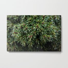 Coniferous Rainforest Metal Print